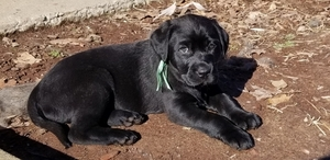 Labrador Retriever Puppy For Sale in PEKIN, IN, USA