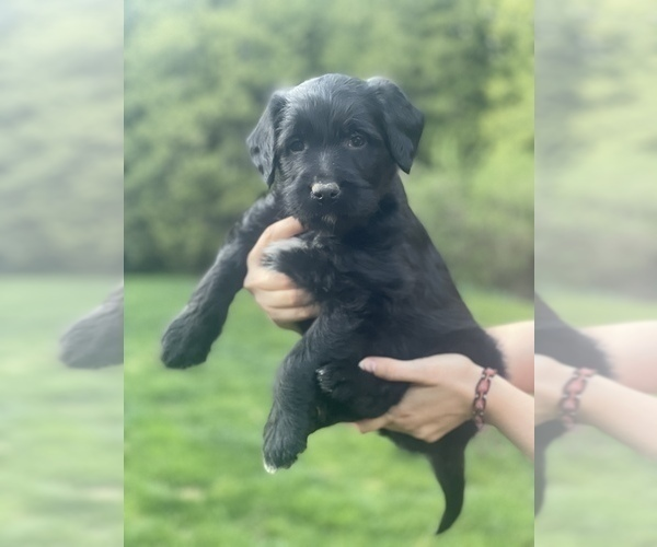 Medium Photo #2 Labradoodle Puppy For Sale in SILVERDALE, WA, USA