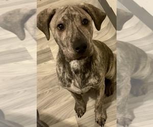 Cane Corso-Siberian Husky Mix Dog for Adoption in RAWSONVILLE, Michigan USA