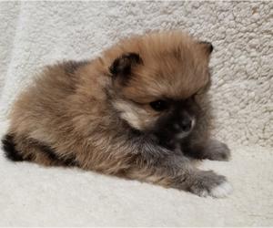 Pomeranian Puppy for sale in OCTAVIA, OK, USA