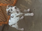 Great Dane Puppy For Sale in SANFORD, NC
