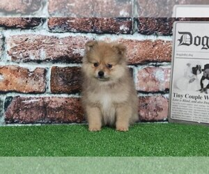 Pomeranian Puppy for sale in BEL AIR, MD, USA