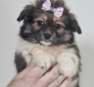 Shiranian Puppy For Sale in WARSAW, IN, USA