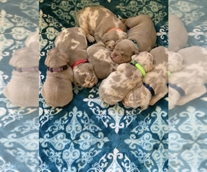 Olde English Bulldogge Puppy for sale in TALENT, OR, USA