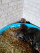 Doberman Pinscher Puppy For Sale in MERCER, TN