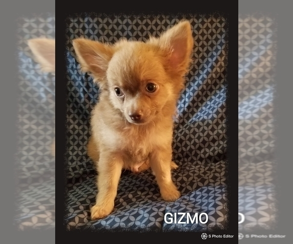 Medium Photo #4 Chihuahua Puppy For Sale in MANSFIELD, TX, USA