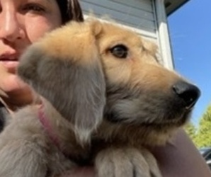Labradoodle Puppy for Sale in PLAINFIELD, Illinois USA