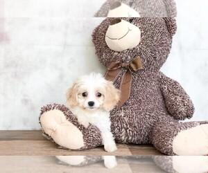 Cavachon Dog for Adoption in CLEVELAND, North Carolina USA
