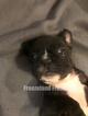 French Bulldog Puppy For Sale in LINDEN, Virginia,