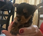 Small #23 Yorkshire Terrier