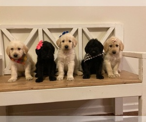Labradoodle Puppy for sale in SPENCER, TN, USA