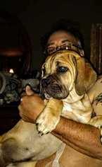 Cane Corso Puppy For Sale in DELAWARE, OH, USA
