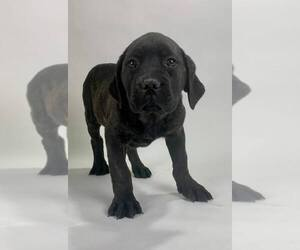 Cane Corso Puppy for Sale in NAPPANEE, Indiana USA