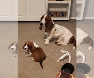Basset Hound Puppy for sale in DRIVER, VA, USA