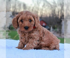 Goldendoodle-Poodle (Miniature) Mix Puppy for sale in NARVON, PA, USA