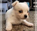 Puppy 3 Chihuahua