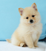 White and Cream Pomeranian Puppies
