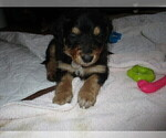 Puppy 1 English Shepherd