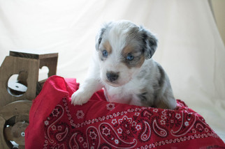 Miniature Australian Shepherd Puppy For Sale in GOODWELL, OK, USA