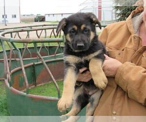German Shepherd Dog Puppy for sale in COLUMBUS, NE, USA