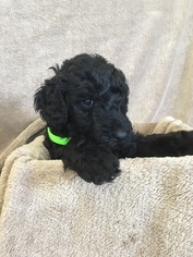 Labradoodle Puppy For Sale in BRAZOS BEND, TX, USA