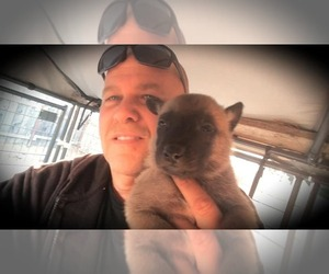 Belgian Malinois Puppy for Sale in PASKENTA, California USA