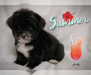 Maltese-Morkie Mix Puppy for Sale in SAN FRANCISCO, California USA