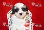 Morkie Puppy For Sale in SANGER, Texas,