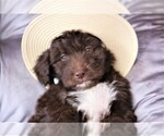 Small #5 Aussiedoodle