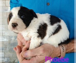 Aussiedoodle Puppy for sale in MARION, TX, USA