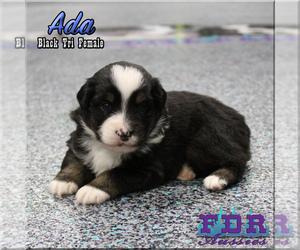 Miniature Australian Shepherd Dog for Adoption in FORESTBURG, Texas USA