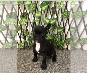 French Bulldog Puppy for sale in ORLANDO, FL, USA