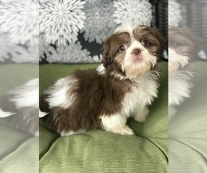 Shih Tzu Puppy for sale in BOWLING GREEN, KY, USA