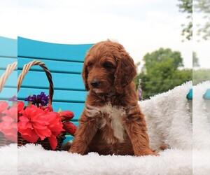 Goldendoodle Dog for Adoption in GAP, Pennsylvania USA