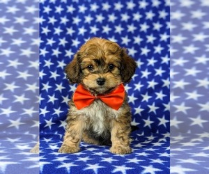 Poovanese Puppy for sale in LEOLA, PA, USA