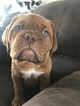 Dogue de Bordeaux Puppy For Sale in MERCED, CA, USA