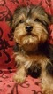 Yorkshire Terrier Puppy For Sale in NEOSHO, MO,
