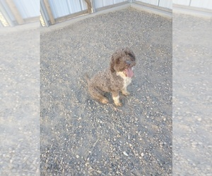 Portuguese Water Dog Puppy for sale in PARMA, ID, USA