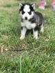 Siberian Husky Puppy For Sale in ZEBULON, NC, USA