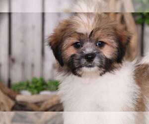 Shih-Poo Dog for Adoption in MOUNT VERNON, Ohio USA