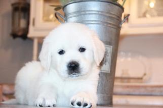 View Ad Golden Retriever Puppy For Sale Near California Sacramento