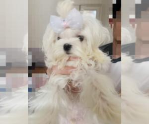 Maltese Puppy for Sale in CHINO HILLS, California USA