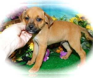Muggin Puppy for sale in HAMMOND, IN, USA
