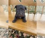 Puppy 2 Schnauzer (Miniature)