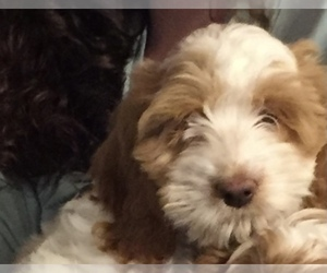 Cockapoo Puppy for sale in INDIANAPOLIS, IN, USA