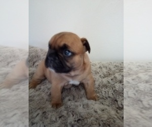 French Bulldog Puppy for Sale in NEW WAVERLY, Texas USA