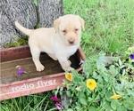 Small Photo #3 Labrador Retriever Puppy For Sale in AVA, MO, USA