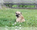 Puppy 4 Puggat