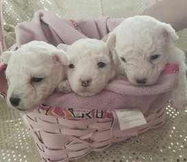 Bolognese Puppy for sale in FORT LAUDERDALE, FL, USA