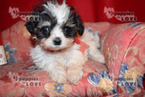 Mi-Ki Puppy For Sale in SANGER, TX, USA
